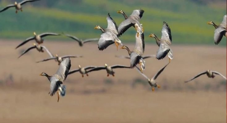 After all, why does bird flu often come to India? Know the reason