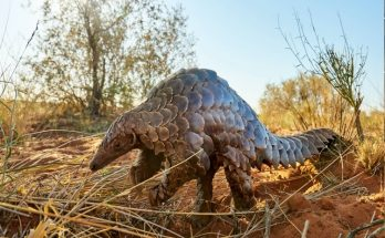 After all, why pangolin is the most trafficking creature in the world?