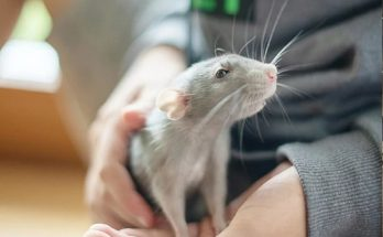 Gene therapy has increased the age of mice by 25 percent, now trials will be done on humans